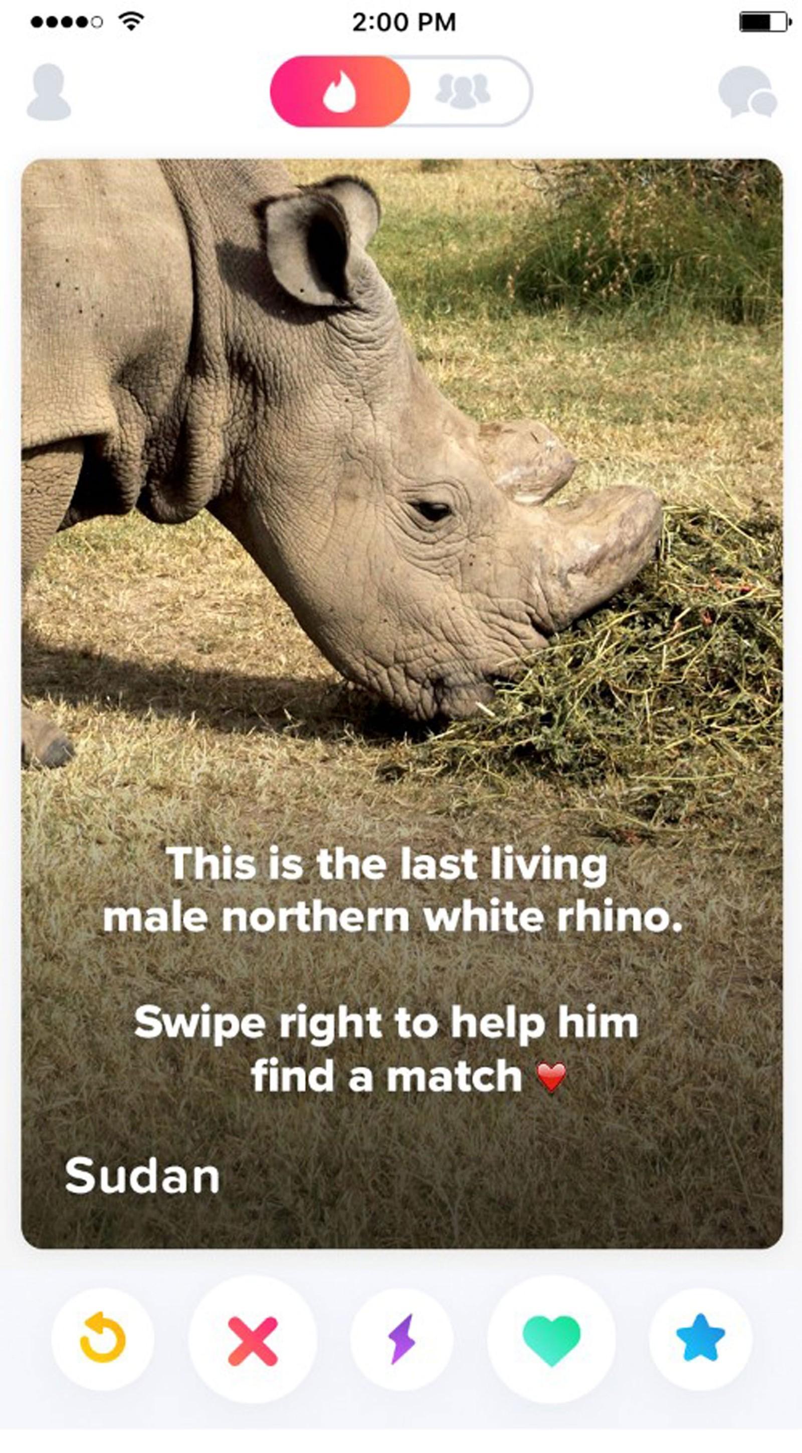 Este é o último macho vivo de rinoceronte-branco do norte. Deslize para a direita para ajudá-lo a encontrar uma parceira. (Foto: Reprodução)