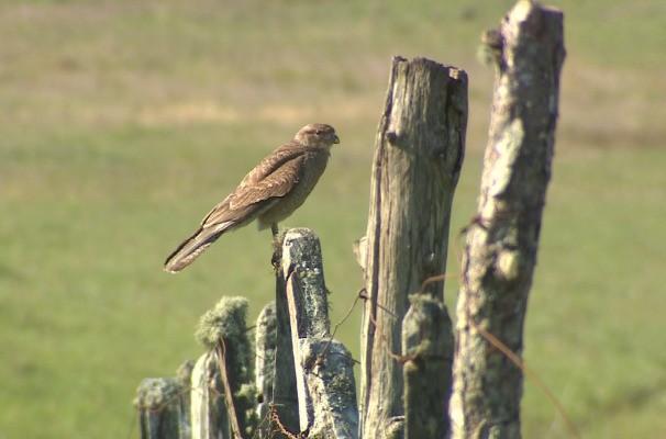 natureza pássaro campo  (Foto: Reprodução/RBS TV)