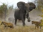 Fotógrafo flagra elefanta defendendo filhotes contra hienas