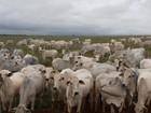 Abate de bovinos recuou 9,6% em 2015, diz IBGE