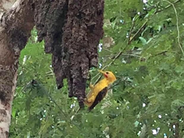 Pica-pau-amarelo  (Foto: Quelyson Souza/Arquivo pessoal)