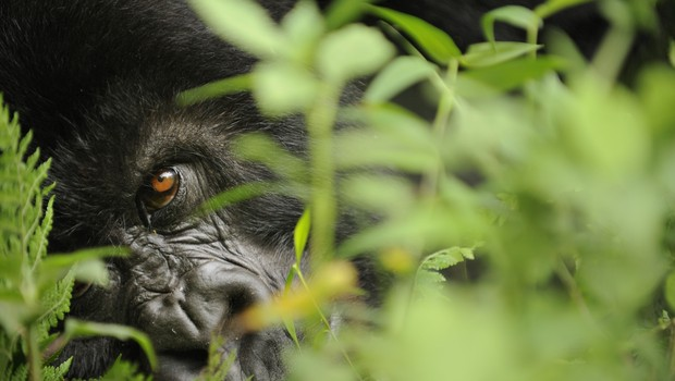 Gorila na África. A espécie de primata é uma das mais ameaçadas (Foto: Divulgação )