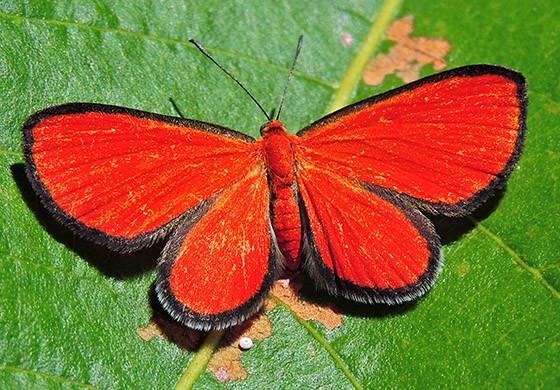 Fêmea da borboleta Mesene epaphus epaphus; fotografada em Passo Manso, Taió, SC (Foto: © Ivo Kindel)