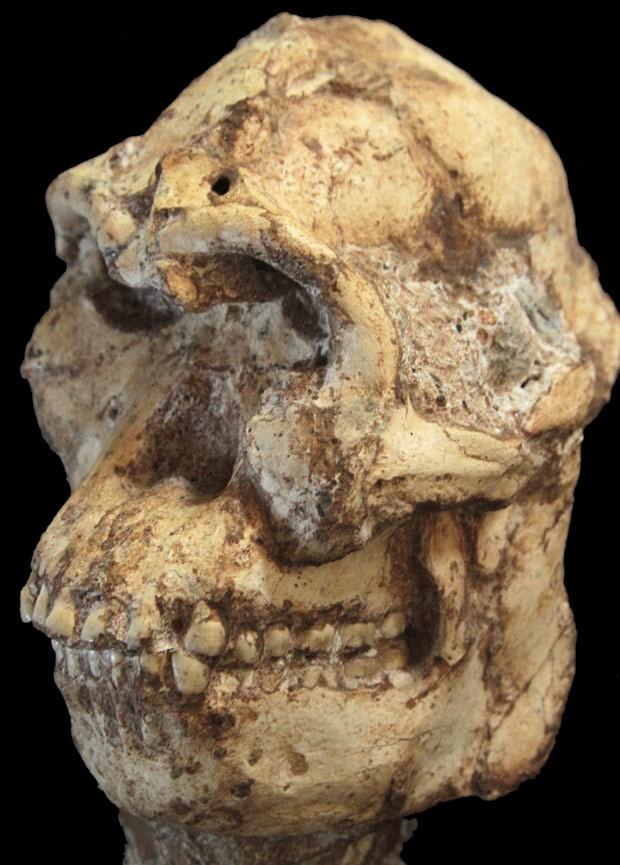 Crânio de Pé Pequeno: nova técnica de datação concluiu que espécie viveu ao mesmo tempo que espécie de Lucy  (Foto: Reuters/Wits University)