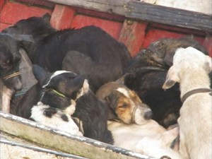 cachorros santa cruz do arari (Foto: Reprodução/ Aragonei Bandeira)
