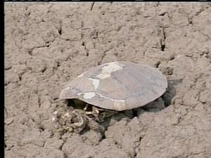 Lago seca e tartaruga morre por falta de água em Formoso do Araguaia (Foto: Reprodução/TV Anhanguera)