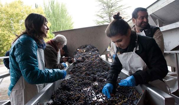 Processo de seleção das uvas  (Foto: Divulgação)