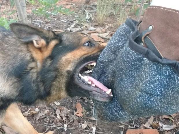 Cães de captura são cães de trabalho e poupam a vida de um militar em caso de disparo de arma de fogo pelo fugitivo. (Foto: Juliana Peixoto/G1)
