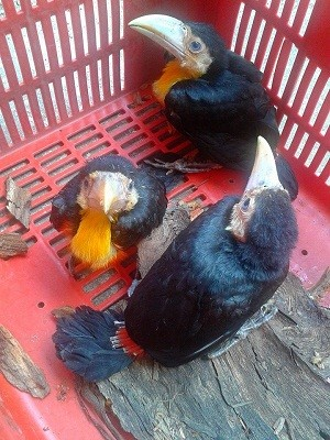 Os pequenos tucanos em foto do dia em que foram encontrados (Foto: Luciana da Silva Amorim/Arquivo Pessoal)