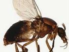 Outros 2 insetos causam febre com sintomas da dengue, diz Fiocruz