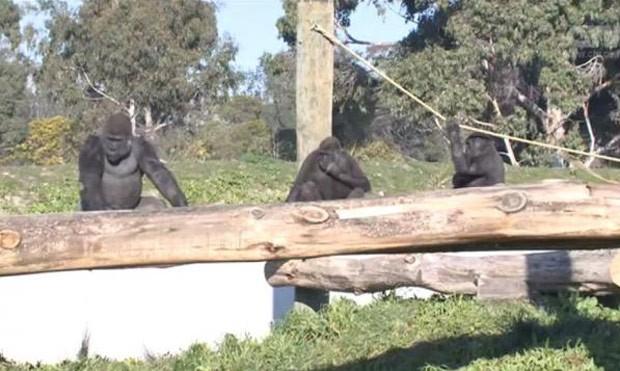 Visitante foi banido de zoo neozelandês após imitar gestos de gorila (Foto: Reprodução/YouTube/ CTV)