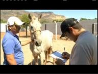 Em dois dias, 30 cavalos são recolhidos das ruas de Valadares