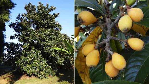 Esta árvore também é conhecida por ameixa-do-pará, ameixa-japonesa ou simplesmente ameixa-amarela (Foto: Giselda Person / TG)