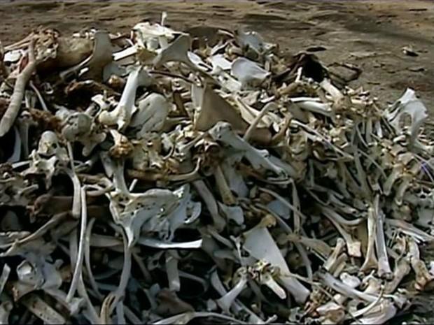 Monte de ossos dos animais que morreram devido à seca (Foto: Reprodução/TV Gazeta)