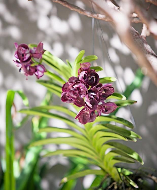Orquídeas. Os exemplares do gênero Vanda devem ser cultivados com as raízes limpas e soltas, por isso são ótimos para pendurar (Foto: Gui Morelli / Divulgação)