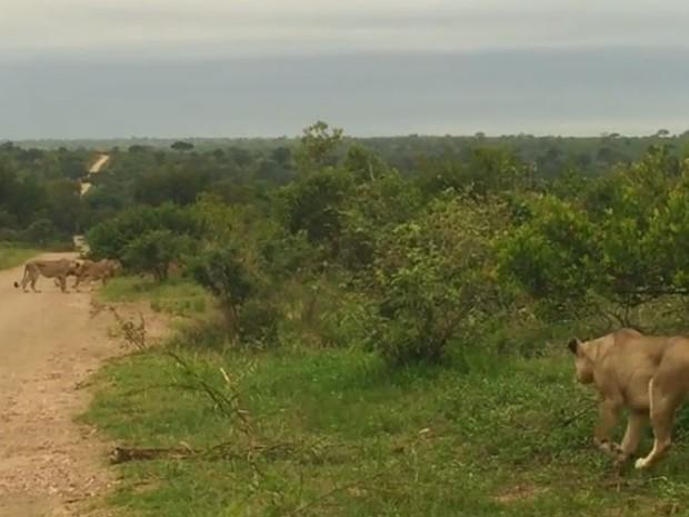 Leoa reencontrou bando após vagar sozinha por três dias (Foto: Reprodução/YouTube/Kruger Sightings)