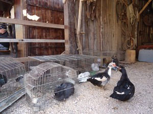 Coelhos e aves ajudam a compor o piquete de Volnei (Foto: Luiza Carneiro/ G1)
