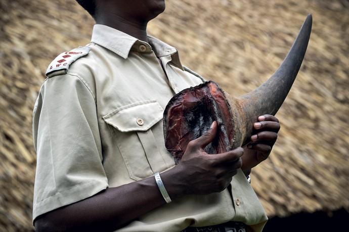 Crueldade: ranger segura chifre de rinoceronte, que pode pesar até quatro quilos. Feito de queratina, a mesma proteína encontrada na unha e no cabelo humanos, ele é vendido por até US$ 100 mil o quilo no Vietnã (Foto: Revista Galileu)