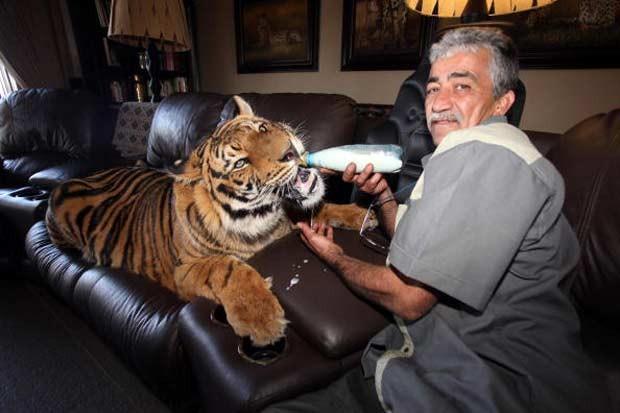 Goosey Fernandez mantém um tigre como animal de estimação em Joanesburgo, na África do Sul. Ele cuida do animal chamado 'Panjo' desde que ele tinha apenas três semanas de vida (Foto: Matthew Tabaccos/Barcroft/Getty Images)