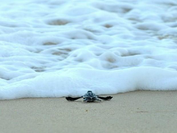 Tamar disse que fenômeno é uma raridade nas praias da Grande Vitória, espírito santo. (Fot Carlos Alberto Silva/ A Gazeta)