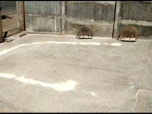 Armadilha encontrada pelos militares em casa no Bairro Laranjeiras, em Uberlândia (Foto: Polícia Militar de Meio Ambiente/Divulgação)