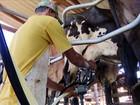 Entressafra do leite traz expectativa de aumento no preço do alimento em MG