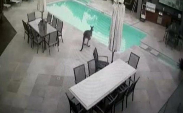 Canguru foi flagrado saltando em piscina de casa na Austrália (Foto: Reprodução/Facebook/Amy Garraway)