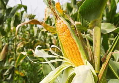 milho_agricultura_graos (Foto: Shutterstock)