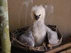 Filhote de gavião-real é resgatado por populares em estrada de Rondônia