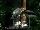 Cegonhas viram 'pais adotivos' de filhote em zoológico dos EUA