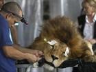 Leão resgatado de circo passa por tratamento dentário no Peru; veja fotos