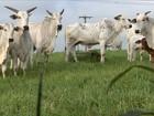 Chuva no tempo certo garante pasto verde para o gado no interior de SP