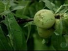 Excesso de chuva provoca estragos nas lavouras de frutas e fumo do RS