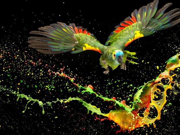 Fotógrafo usou técnica 'splash' e fez montagem com foto de papagaio-verdadeiro em estúdio (Foto: Tony Generico)