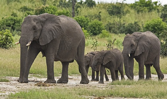 Uma família de elefantes usa um dos caminhos tradicionais no Okavango (Foto: © Haroldo Castro/ÉPOCA)