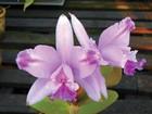 Festival de orquídeas começa nesta quinta-feira em Natal