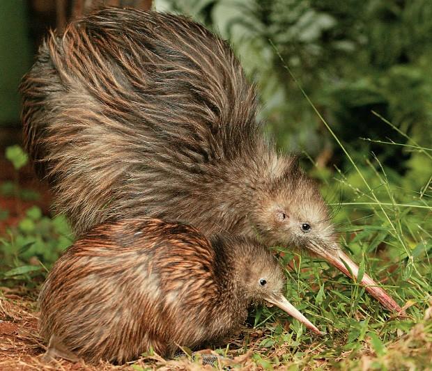 PROTEÇÃO Quivi, a ave símbolo da Nova Zelândia. Lá, as autoridades locais criaram ilhas livres de cães e gatos para preservá-lo (Foto: John Stone/AP)
