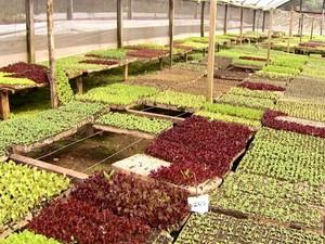 Novas linhas de alface são cultivadas em área rural de Campinas, SP (Foto: Reprodução / EPTV)