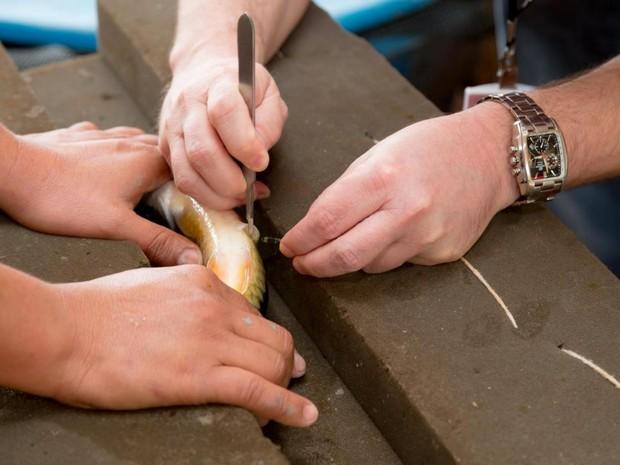 Marcações pelo sistema de pit-telemetria são feitas nos peixes que passam pelo reservatório de Itaipu desde 2009 (Foto: Itaipu Binacional / Divulgação)