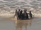 Onze pinguins são soltos na praia do Moçambique, em Florianópolis