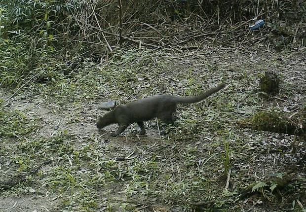 Um gato mourisco no chão da floresta de Mata do Úru (Foto: Divulgação)