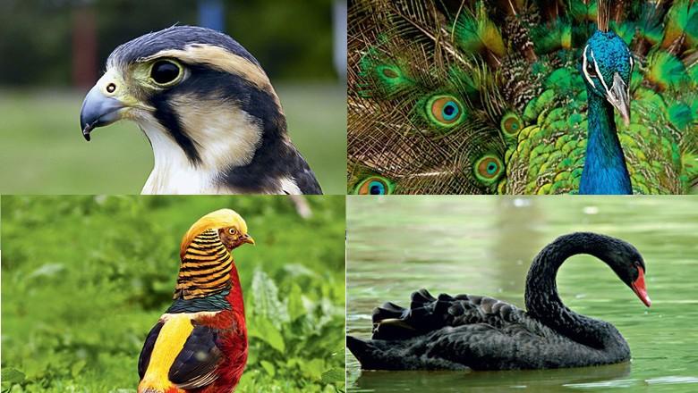 como-criar-aves-exoticas-pavao-cisne-faisão-falcão (Foto: Ed. Globo)