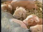 Quilo de carne suína custa, em média, R$ 7,41, em Rondônia, diz Emater