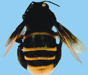 Em 2009, o centenário do Atlético Mineiro também foi homenageado pelo pesquisador mineiro. Ele batizou outra abelha de 'Eulaema atleticano'. (Foto: Divulgação/André Nemésio)