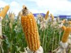 Período de plantio da safrinha do milho no Centro-Sul começa na sexta