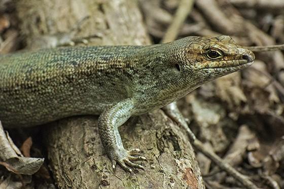 """Mesmo se a população do lagarto-de-pele-lisa-de-telflair (Leiolopisma telfairii) aumentou bastante, ele ainda é considerado como """"vulnerável à extinção"""" pela UICN  (Foto: © Haroldo Castro/ÉPOCA)"""