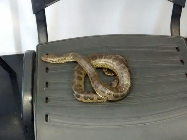 Cobra sucuri foi encontrada com folião na Av. Sete de Setembro, próximo à Praça Castro Alves (Foto: Divulgação/Prefeitura de Salvador)