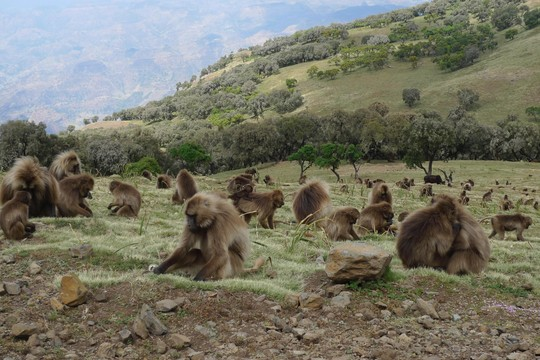 Um grupo de macacos gelada no norte da Etiópia. Eles vivem em paz com os lobos (Foto: Reprodução)