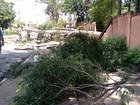 Árvore cai com ventania e bloqueia avenida do Selmi Dei, em Araraquara