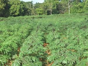 Produção mandioca no Alto Paranaíba (Foto: Divulgação/Emater)